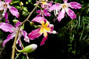 トックリキワタの花の写真素材 [FYI04503114]