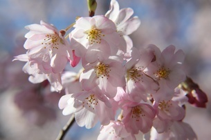 桜満開の写真素材 [FYI04503458]