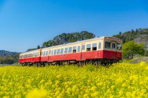 菜の花畑の中を走る小湊鉄道の列車の写真素材 [FYI04503933]