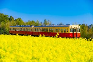 菜の花畑の中を走る小湊鉄道の列車の写真素材 [FYI04503944]