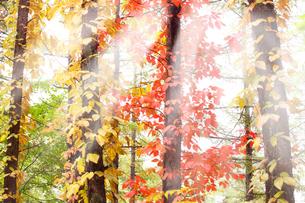 美しい光と紅葉の写真素材 [FYI04504122]