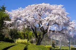 段地区に咲く枝垂れ桜の大木の写真素材 [FYI04504194]