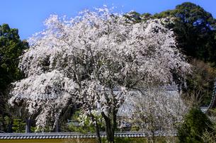 瑞巌寺の枝垂れ桜の写真素材 [FYI04504199]