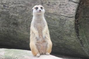 興味津々で遠くを見つめるミーアキャット  シンガポール動物園の写真素材 [FYI04504532]
