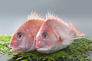 ヒバに乗せた二匹の真鯛の写真素材 [FYI04504814]
