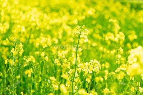 北海道 札幌市近郊の菜の花畑の写真素材 [FYI04505205]
