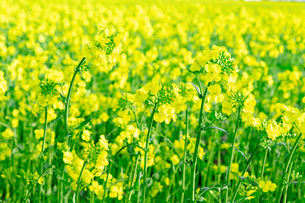 北海道 札幌市近郊の菜の花畑の写真素材 [FYI04505206]