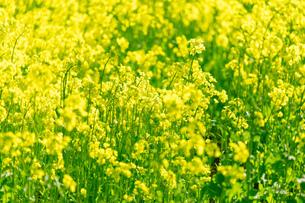 北海道 札幌市近郊の菜の花畑の写真素材 [FYI04505207]