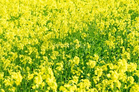 北海道 札幌市近郊の菜の花畑の写真素材 [FYI04505208]