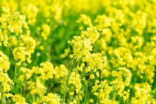 北海道 札幌市近郊の菜の花畑の写真素材 [FYI04505209]