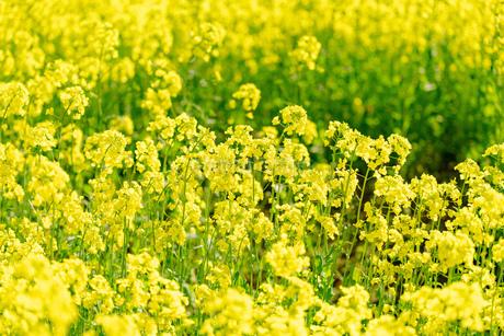 北海道 札幌市近郊の菜の花畑の写真素材 [FYI04505210]