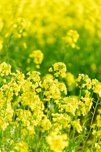 北海道 札幌市近郊の菜の花畑の写真素材 [FYI04505211]