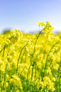 北海道 札幌市近郊の菜の花畑の写真素材 [FYI04505212]