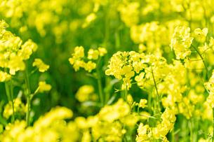 北海道 札幌市近郊の菜の花畑の写真素材 [FYI04505213]