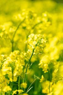 北海道 札幌市近郊の菜の花畑の写真素材 [FYI04505214]