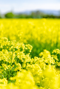 北海道 札幌市近郊の菜の花畑の写真素材 [FYI04505215]