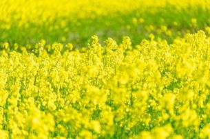 北海道 札幌市近郊の菜の花畑の写真素材 [FYI04505216]