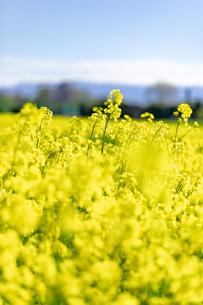 北海道 札幌市近郊の菜の花畑の写真素材 [FYI04505217]