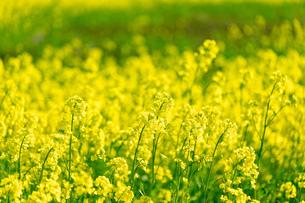 北海道 札幌市近郊の菜の花畑の写真素材 [FYI04505218]