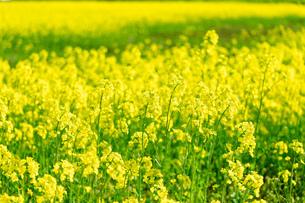北海道 札幌市近郊の菜の花畑の写真素材 [FYI04505219]