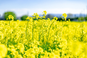 北海道 札幌市近郊の菜の花畑の写真素材 [FYI04505220]