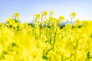 北海道 札幌市近郊の菜の花畑の写真素材 [FYI04505221]