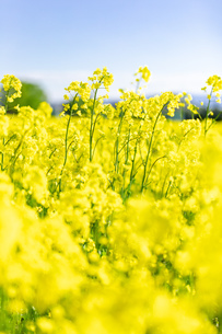 北海道 札幌市近郊の菜の花畑の写真素材 [FYI04505222]