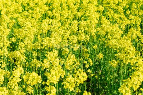 北海道 札幌市近郊の菜の花畑の写真素材 [FYI04505223]