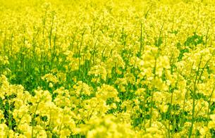 北海道 札幌市近郊の菜の花畑の写真素材 [FYI04505224]