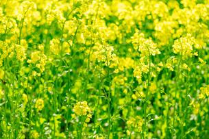 北海道 札幌市近郊の菜の花畑の写真素材 [FYI04505233]