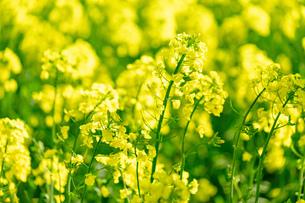 北海道 札幌市近郊の菜の花畑の写真素材 [FYI04505234]