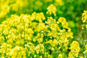 北海道 札幌市近郊の菜の花畑の写真素材 [FYI04505235]