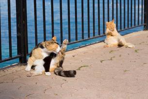 毛づくろいで足を上げる三毛猫の写真素材 [FYI04505362]