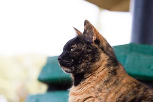 マルタ共和国、サビ柄ネコの横顔の写真素材 [FYI04505386]