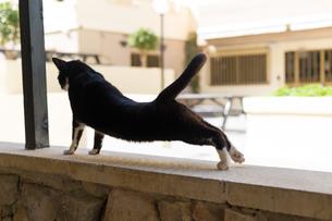 マルタ共和国、塀の上で伸びをする黒白の猫の写真素材 [FYI04505409]