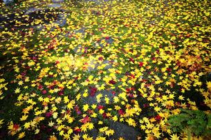 紅葉の花咲く苔の庭の写真素材 [FYI04507106]