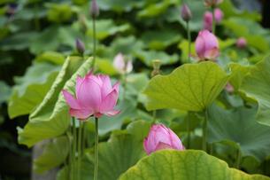 ハスの花の写真素材 [FYI04507113]