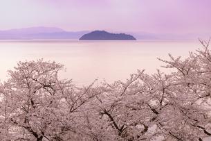 海津大崎の桜の写真素材 [FYI04507118]