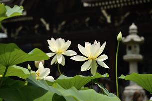 ハスの花の写真素材 [FYI04507119]