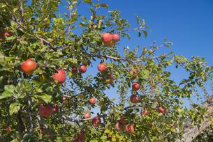 りんごの写真素材 [FYI04507169]
