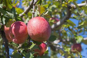 りんごの写真素材 [FYI04507172]