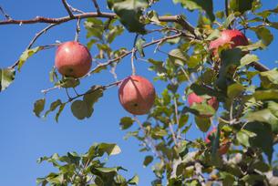 りんごの写真素材 [FYI04507183]