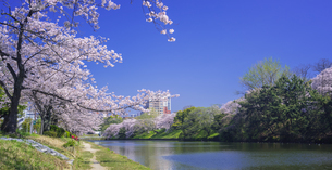 福岡県 桜 福岡城跡 (舞鶴公園)の写真素材 [FYI04507261]