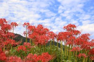 日向地区の彼岸花の写真素材 [FYI04507416]