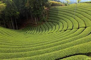 5月  和束町の茶畑  -宇治茶の名産地-の写真素材 [FYI04507493]