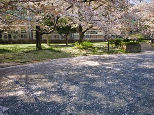 桜の花びらが公園の地面を白く輝かせるの写真素材 [FYI04508306]