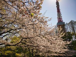 東京芝公園にて快晴とさくらの写真素材 [FYI04508307]