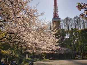 東京芝公園にて快晴とさくらの写真素材 [FYI04508308]