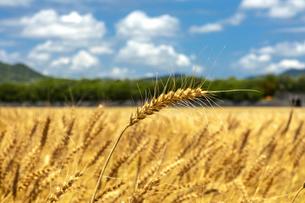 春、実りの麦の写真素材 [FYI04508656]