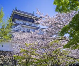 福岡県 桜 小倉城 (勝山公園)の写真素材 [FYI04508739]